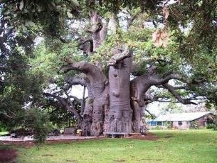 Tzaneen Country Lodge Tzaneen - Big Boabab Tree
