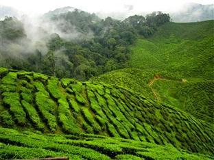 KRS Pines Guest House Cameron Highlands - Tea Plantation in Cameron Highlands