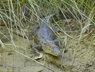 Maruni Sanctuary Lodge Chitwan National Park - Crocodile