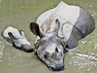 Maruni Sanctuary Lodge Chitwan National Park - Rhino with Cub