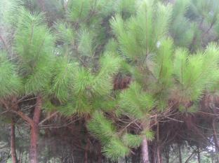 Hung Lam Resort Halong - Pine woods