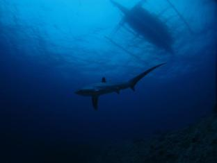 Tepanee Beach Resort Malapascua Island - Thresher shark