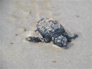 Capari Resort San Vicente - Hatchlet Found in Capari Resort's Beach