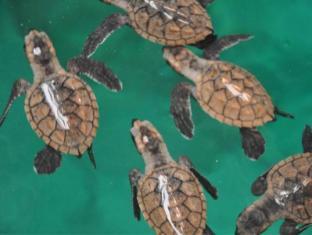 Island Garden Resort in Pangubatan Davao - Newly hatched sea turtles